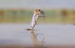 Nascita di una zanzara Fotografia Stock Libera da Diritti