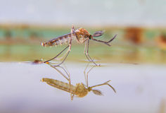 Nascita di una zanzara Fotografie Stock Libere da Diritti