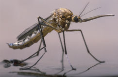 Nascita di una zanzara femminile Immagini Stock