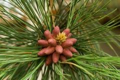 Nascita su alcuni coni del pino Fotografia Stock