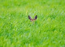 Nascondendosi nell'erba Fotografie Stock