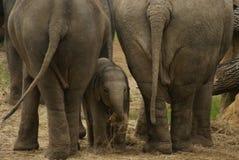 Nascondersi del bambino dell'elefante Immagine Stock