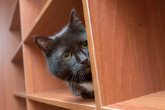 Nascondersi del gatto nero Fotografia Stock