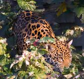 Nascondersi del giaguaro Fotografie Stock