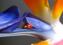 Nascondersi del Ladybug Fotografia Stock Libera da Diritti