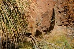 Nascondersi del leone di montagna Immagini Stock Libere da Diritti