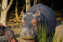 Nascondersi dell'ippopotamo Fotografia Stock