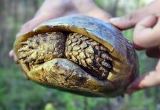 Nascondersi della tartaruga Immagini Stock