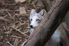 Nascondersi della volpe artica Fotografie Stock