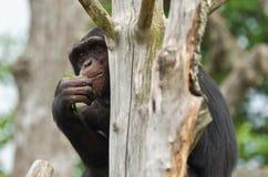 Nascondersi dello scimpanzè Fotografie Stock