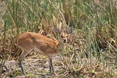 Nascondersi dello Steenbok fotografia stock libera da diritti
