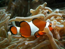 Nascondersi di Clownfish Fotografie Stock Libere da Diritti