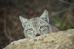 Nascondersi di Lynx Immagini Stock