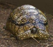 Nascondersi irradiato del Tortoise Fotografie Stock