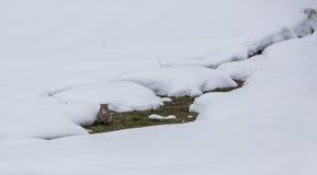 Nascondersi selvaggio del gatto Immagine Stock