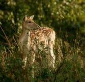 Nascondersi sveglio dei cervi del bambino Fotografia Stock Libera da Diritti