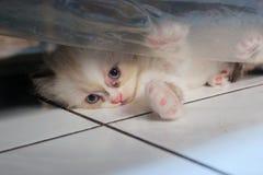 Nascondersi sveglio di espressione del gattino Fotografia Stock