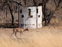 Nascondiglio dei cacciatori dell'arco con l'impala Immagini Stock Libere da Diritti