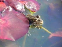 Nascondiglio del Froggy Fotografia Stock
