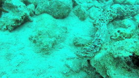 Nascondino con l'epinephelus marginatus in Grecia 2 stock footage