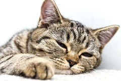 Nase der Katzennahaufnahme Katzenartiges Nasenmakro Stockfotos