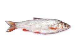 Nase fish Royalty Free Stock Image