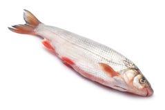 Nase fish Stock Photos