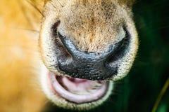 Nase von Rotwild lizenzfreies stockfoto