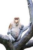 Nasenaffe auf dem Baum lokalisiert Stockbild