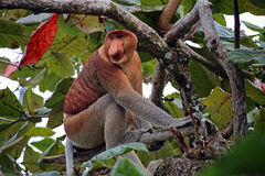 Nasenaffe auf einem Baum Lizenzfreie Stockbilder