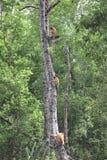 Nasenaffe-Baum Stockbilder