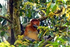 Nasenaffe, Borneo, Malaysia Stockbild