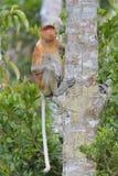 Nasenaffe, die auf einem Baum im wilden grünen Regenwald auf Borneo-Insel sitzt Lizenzfreies Stockfoto