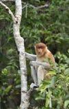 Nasenaffe, die auf einem Baum im wilden grünen Regenwald auf Borneo-Insel sitzt Das Nasenaffe Nasalis larvatus oder das lang- Lizenzfreie Stockfotos