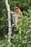 Nasenaffe, die auf einem Baum im wilden grünen Regenwald auf Borneo-Insel sitzt Das Nasenaffe Nasalis larvatus oder das lang- Stockbild