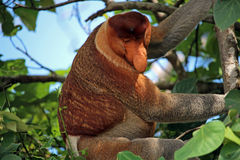Nasenaffe, die einen Baum klettert Stockbild