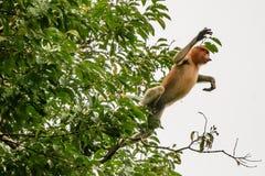 Nasenaffe gefangengenommenes Springen aus einem Baum heraus Lizenzfreies Stockbild