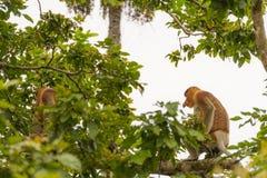Nasenaffe im Regenwald von Borneo Lizenzfreie Stockbilder