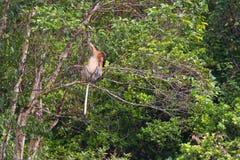 Nasenaffe im Regenwald von Borneo Lizenzfreies Stockfoto