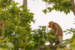 Nasenaffe im Regenwald von Borneo Lizenzfreies Stockbild