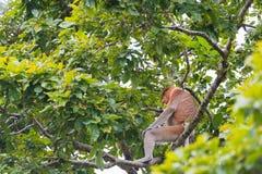 Nasenaffe im Regenwald von Borneo Stockfotografie