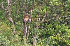 Nasenaffe im Regenwald von Borneo Stockbilder