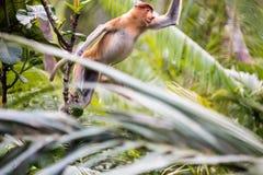 Nasenaffe im Wald in Borneo Lizenzfreie Stockfotos
