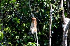 Nasenaffe im Wald in Borneo Lizenzfreie Stockbilder
