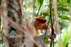 Nasenaffe Nasalis larvatus - Borneo Malaysia Asien lizenzfreies stockbild