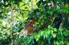 Nasenaffe oder langnasiges Affe Nasalis larvatus sitzen an Stockbilder