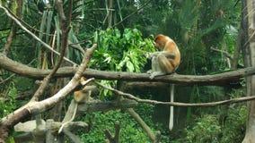 Nasenaffe an Singapur-Zoo stockfotos