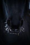 Nasenlöcher des friesischen Pferds herein zum Schnee Lizenzfreies Stockbild