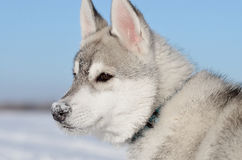 Nasenprofil des Welpen des sibirischen Huskys Hundeschneebedecktes Stockfotografie