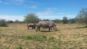 Nashörner, die in Südafrika grasing sind Stockfoto